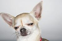 Sleepy Chihuahua