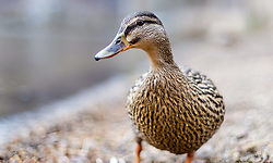 THEMENBILD - eine Ente spaziert am Ufer des Zeller See, aufgenommen am 31.Maerz 2015, am Zeller See, Zell am See, Oesterreich // A duck walks on the shore of Lake Zell, Zell am See, Austria on 2015/03/31. EXPA Pictures © 2015, PhotoCredit: EXPA/ JFK