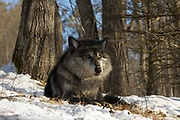 Black wolf bedded in wooded winter habitat. Captive pack.