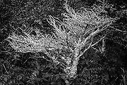 This tree was adjacent to the AT on the eastern side of Wilburn Ridge.  I suspect this is a young hemlock which succumbed to the hemlock version of the woolly adelgid.  The contrast of the lichen covered branches against the surrounding foliage was quite striking.  This image was selected to appear in the 2015 Dimensions exhibit at the Milton Rhodes Center for the Arts in Winston-Salem, North Carolina.
