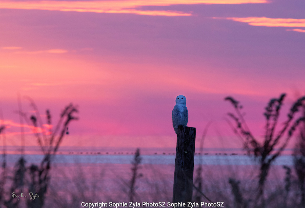 Snowy Owl Setting Sun