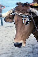 Cow at the beach - Furaduro - Portugal