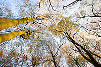 looking up in an autumn beech woodland