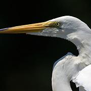 Great Egret, Ardea alba, closeup