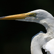 Egrets, Herons and Tropical Birds