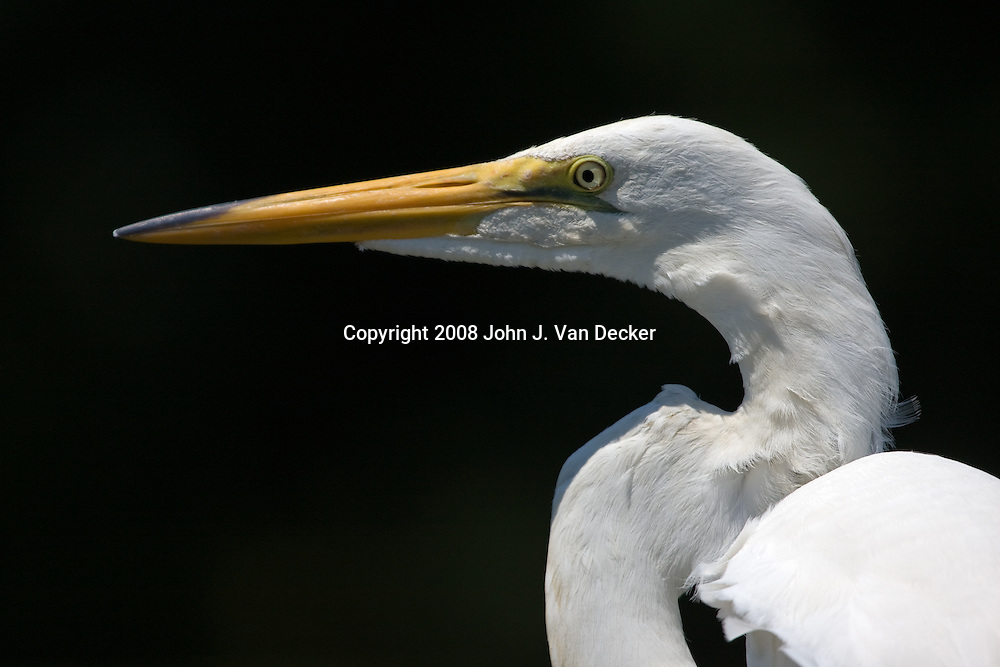 Great Egret, Ardea alba, closeup