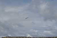 Seagull flying over stone walls on Inis Oirr Island the Aran Islands County Galway Ireland