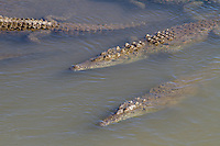 Tárcoles River in Costa Rica is perhaps best known for its abundance of American crocodiles. It's said that the Tárcoles River has one of the highest populations of crocodiles in the entire world - 25 crocodiles per square kilometer. Several tour operators take advantage of this fact by offering river tours that guarantee croc sightings. Much of the time these large reptiles (which can grow to a length of seven meters) can be spotted swimming through the river or sunbathing along the banks.