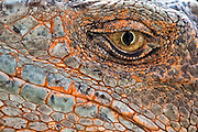 Closeup of the eye of an iguana.