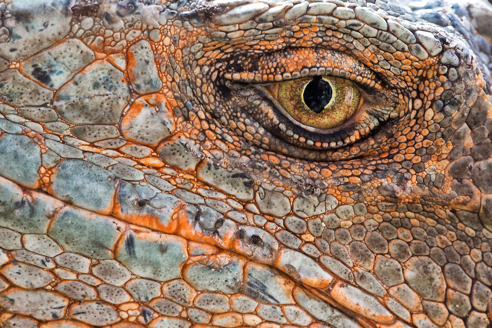 Closeup of the eye of an iguana.