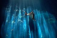 PRT, Portugal: Oceanario de Lisboa, das zweitgroesste seiner Art weltweit, Rochen, Reflexionen auf der Acrylscheibe, Lissabon, Lissabon   PRT, Portugal: Oceanario de Lisboa, the second largest world wide, ray, reflexion on acrylic pane, Lisbon, Lisbon  