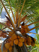 Cococnut, Palm, Tree,, Fakarava, Tuamotu Islands, French Polynesia, South Pacific