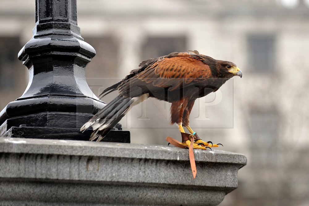 © Licensed to London News Pictures. 13/03/2012. London, UK. Lizzie on a perch high up to scan for pigeons. Wayne Parsons flies Lizzie, aged 3, the American Harris Hawk in London's Trafalgar Square today. Wayne and Lizzie are employed by the Greater London Authority to control the pigeon population in the famous square. Lizzie was reared from birth by Wayne but not 'imprinted', meaning she retains her natural ability to hunt. Lizzie only catches 5 or 6 pigeons a year as the very site of her scares them away.  Photo credit : Stephen SImpson/LNP