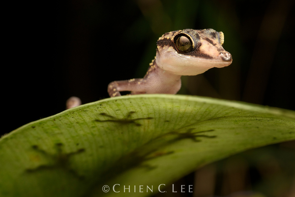 With over one hundred species occurring throughout the island in virtually all habitats, Madagascar is a hotspot for gecko diversity and endemism. This Graceful Madagascar Ground Gecko (Paroedura gracilis) is an inhabitant of the eastern rainforests and, unlike most arboreal species, lacks the enlarged toe pads for climbing vertical surfaces. Active only at night, it hunts insects from low perches in the forest understory. Photographed in Marojejy National Park.