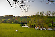 Cows by the River Windrush in Swinbrook, The Cotswolds, Oxfordshire, UK