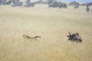 Cheetah <br /> Acinonyx jubatus<br /> Chased by wildebeest while hunting wildebeest calves/yearlings<br /> Masai Mara Reserve, Kenya