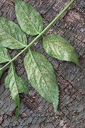 Damage caused by red spider mite to underside of leaves. Tetranychus urticae