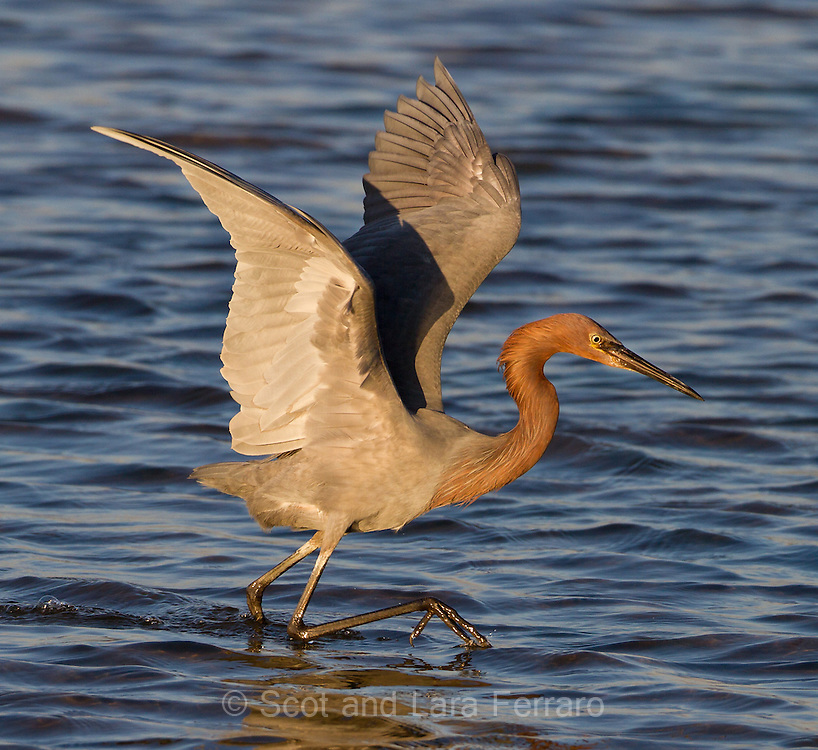 Reddish Egrets are relatively new to Bolsa Chica, first arriving here a few years ago.  This egret was fun to watch, running after fish with its wings spread and at the last moment plunging its head underwater for an attempted meal.
