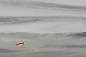 Ruddy Turnstone Pictures - Photos