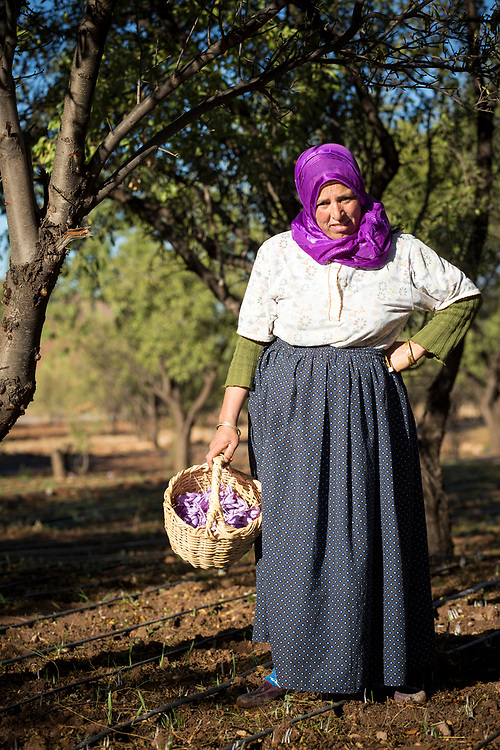 TALIOUINE, MOROCCO - October 25th 2015 - Portrait of a saffron farmer holding a basket of crocus sativus flowers at a saffron farm in Taliouine, Sirwa Mountain Range, Souss Massa Draa region of Southern Morocco