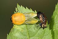 Harlequin Ladybird - Harmonia axyridis hatching