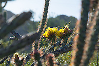 Common in southeastern Arizona, Baja California and Sonora in Mexico, parts of Southern California, as well as select locations in Utah and Nevada, the buckhorn cholla gets its name from its similarity in appearance to deer antlers. Flowers are quite variable in color - ranging from lemon yellow, fiery orange to a deep scarlet, and are followed later in the season by smooth, plump, mostly spineless, green, purplish, or reddish edible fruits. Like many other cactus species in the Southwest, the mature fruits of the buckhorn cholla drop off long before it blooms during the next season, therefore you will never see one with both fruits and flowers at the same time. This one was photographed in the Puerto Blanco Mountains of Southern Arizona near Sonoyta, Mexico.