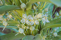 With a number of colorful and descriptive common names such as elkweed, green gentian, monument plant, and deer's ears, Frasera speciosa is a tall mountain-loving flowering plant that is hard to mistake for anything else. Found in most of the Western American states, and is commonly eaten by deer, moose, elk, and domestic livestock. Traditionally, the roots were cooked as food and the leaves were smoked a by Native Americans. This one was found blooming in the White River National Forest, just outside of Aspen, Colorado.