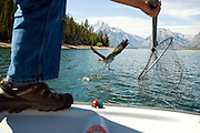 PRICE CHAMBERS / NEWS&GUIDE.Bryan Bedrosian prepares to net an osprey caught in a snare on Jackson Lake on Sept. 16. The research biologist with Craighead Beringia South used a method developed by Senior Wildlife Biologist Steve Caine to put satelitte transmitters on an entire family unit of the birds to study their migration patterns.