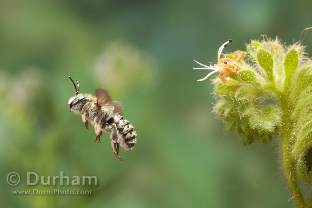 A anthidium bee (Anthidium sp) flies near a Salt heliotrope (Heliotropium Curassavicum) flower. Photographed in the high-desert of Washington, at The Nature Conservancy's Whisper Lake Preserve.