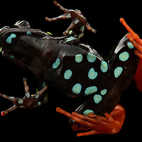 In addition to their gaudy dorsal colors, many Mantella frogs show striking ventral patterns – this may serve as a double warning of their toxicity when attacked by a curious predator. Although unrelated, Mantellas, which are all endemic to Madagascar, show remarkable convergence with Central and South America's poison dart frogs (family Dendrobatidae), and share a number of common features including skin toxicity (acquired from their diet, primarily ants) and diurnal behavior. This is the Harlequin Mantella (M. baroni) from the rainforests of Madagascar's eastern escarpment.