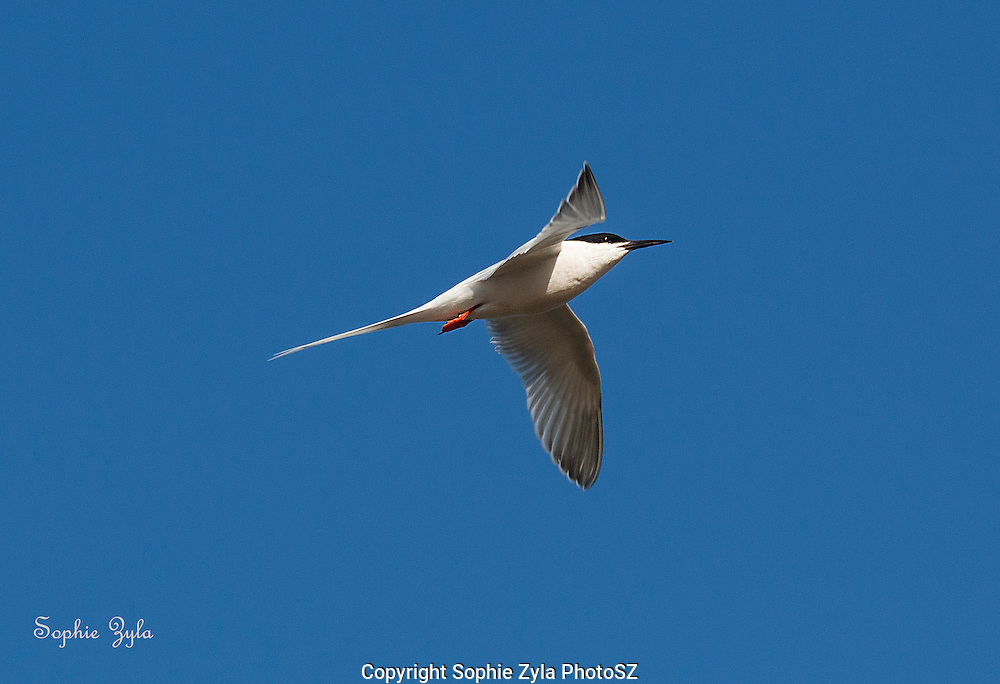 Grace of a Roseate Tern