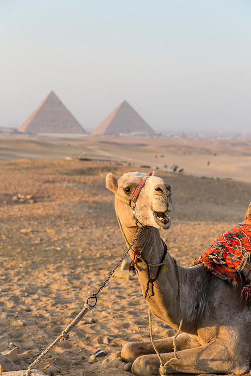 Egypt, Cairo, Setting sun lights tourists' camel resting in front of Great Pyramid of Giza in Sahara Desert
