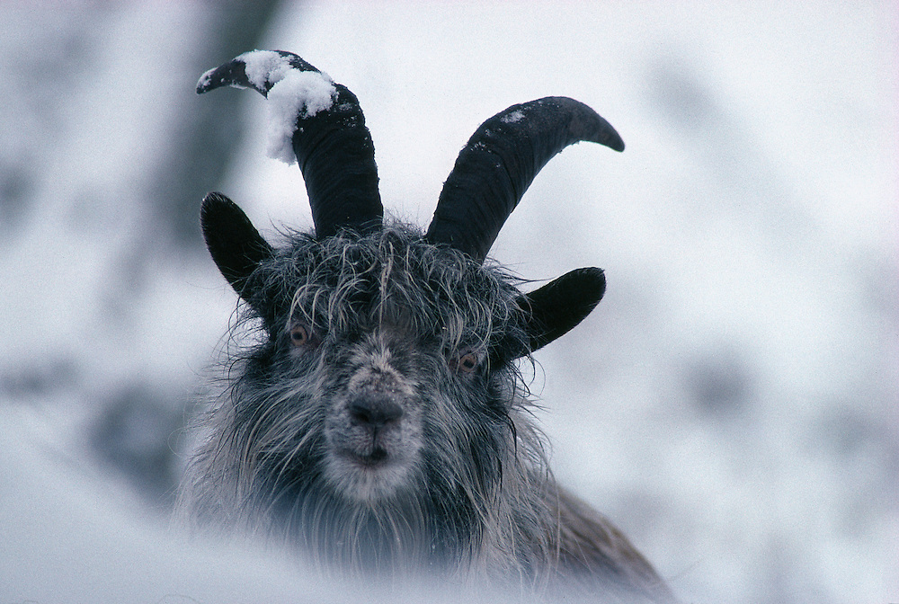 Feral nanny goat in snowy forest, Scotland