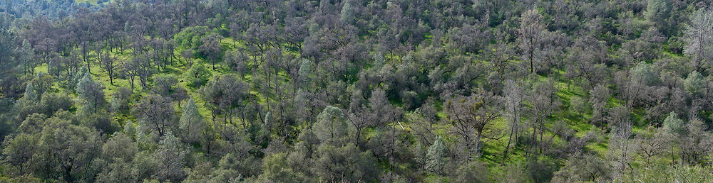 Northern California hillside trees. (54668 x 14122 pixels)