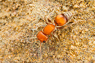 Velvet Ant (Pseudomethoca sp.) - female<br /> United States: Alabama: Tuscaloosa Co.<br /> Tulip Tree Springs off Echola Rd.; Elrod<br /> 23-Jun-2017<br /> J.C. Abbott #2962