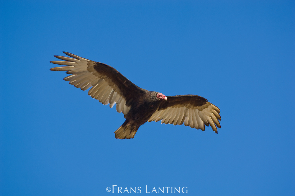 Turkey vulture in flight, Cathartes aura, Saunders Island, Falkland Islands