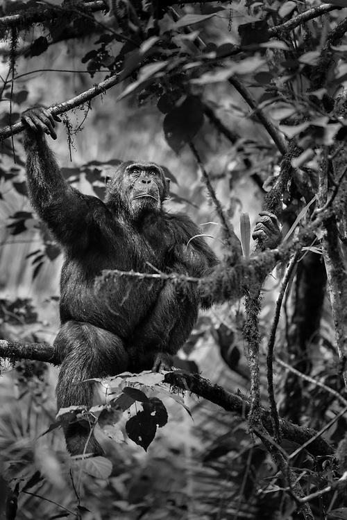 Male chimpanzee, Kibale National Park, Uganda / Chimpancé macho, Parque Nacional Kibale, Uganda