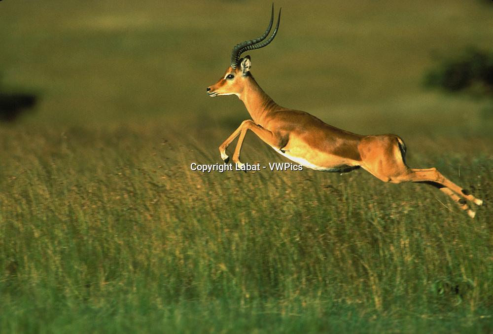 Impala en course