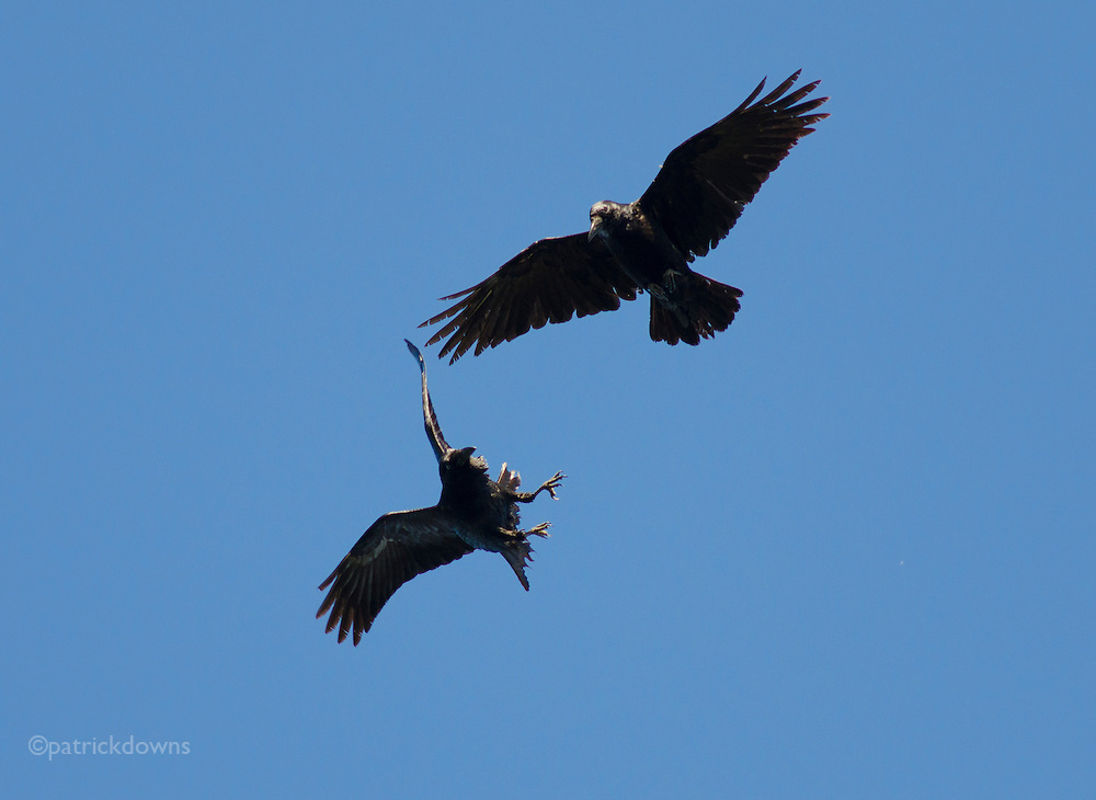 Ravens joust in mid-air, at the beginning of spring and mating season
