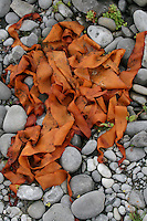 Orange seaweed on rocks on the Aran Islands Galway Ireland
