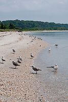 New York, Long Island - birds on the seashore at West Meadow.