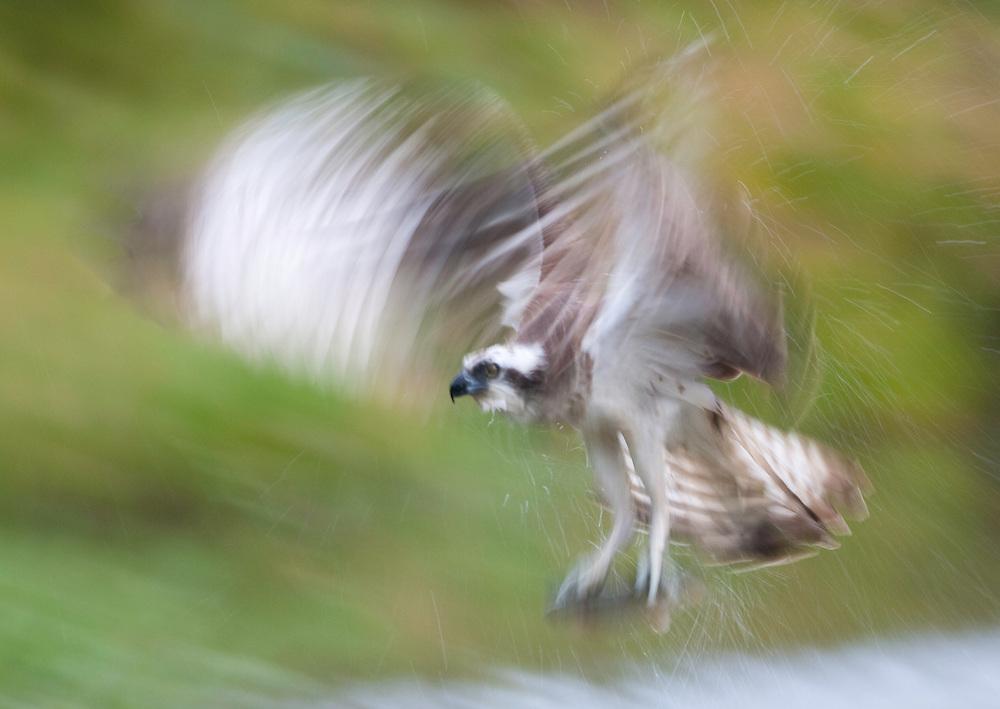 Osprey (Pandion haliaetus) fishing, Kangasala, Finland.