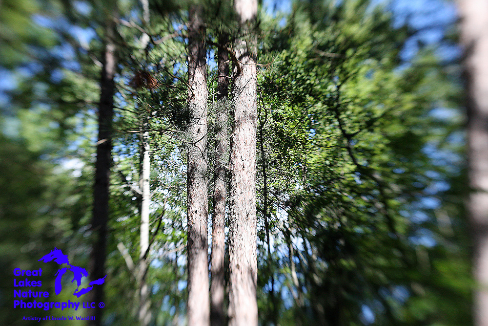 Selective-focus imagery allowed me to capture these three, isolated pines, contrasted against the dense backdrop of the deciduous forest behind them.