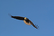 Bald Eagle, Haliaeetus leucocephalus, flying, Kenai Peninsula, Homer Spit, Homer, Alaska. Digital original, #2006_1249 ©Robin Brandt