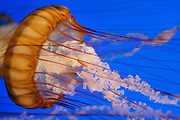 Sea nettle (Chrysaora fuscescens) at the Monterey Bay Aquarium, Monterey, California.