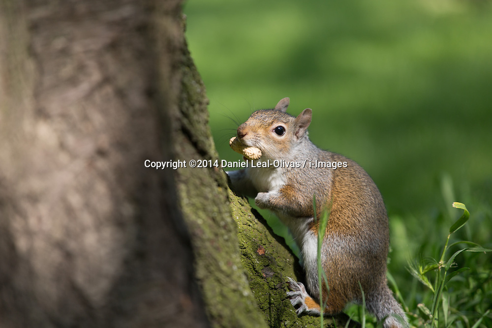 A squirrel climbs a tree with a peanut in Hyde Park, Central London, United Kingdom. Friday, 16th May 2014. Picture by Daniel Leal-Olivas / i-Images