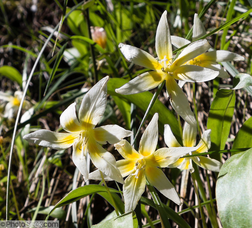 Erythronium californicum (common name California fawn lily) is a species of flowering plant in the family Liliaceae, endemic to moist woodland habitats in the mountains of Northern California. Hike in Forks of Butte Creek Recreation Area, on Federal BLM land, California, USA. Directions from Chico: drive northeast on State Highway 32, 20 miles to Forest Ranch, then southeast on Garland Road (graded dirt road), then left on Doe Mill Road. It is about 4.75 miles to Butte Creek trailhead from Highway 32.