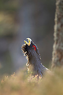 Capercaillie (tetrao urogallus) male displaying, Scotland.