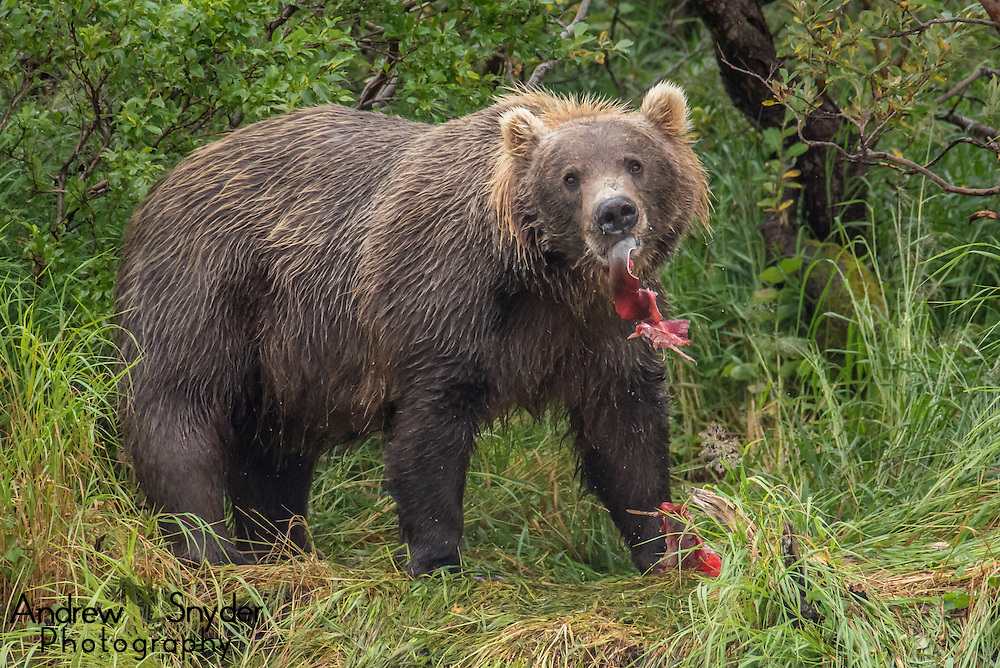 A brown bear eating a sockeye salmon - Katmai, Alaska