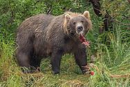 A brown bear eating a sockeye salmon - Katmai, Alaska